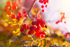 Red Viburnum berries in the tree Stock Image