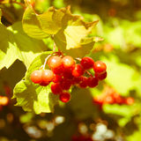 Red Viburnum berries in the tree Royalty Free Stock Image