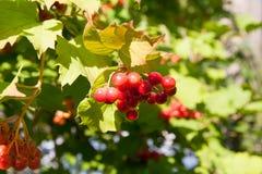 Red Viburnum berries in the tree Stock Image