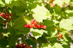 Red Viburnum berries in the tree Royalty Free Stock Photo