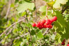 Red Viburnum berries in the tree Royalty Free Stock Photos