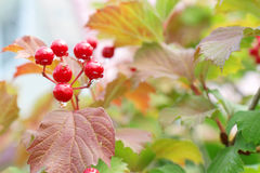 Red Viburnum berries in the tree after rain Stock Images
