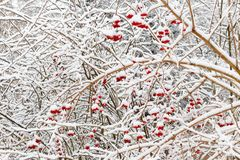 Red Viburnum berries under snow in the winter during a snowfall Royalty Free Stock Photo