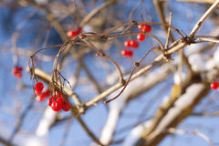 Red viburnum berries in winter Royalty Free Stock Photo
