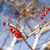 Red viburnum berries in winter Royalty Free Stock Image