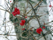 Red viburnum berries in winter Royalty Free Stock Images