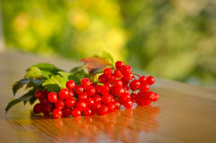 Red Viburnum berries Royalty Free Stock Photography