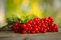 Red Viburnum berries Stock Photo