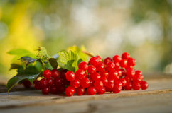 Red Viburnum berries Stock Images