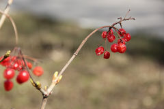 Red viburnum. On a branch royalty free stock image