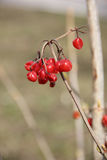 Red viburnum. On a branch royalty free stock photos