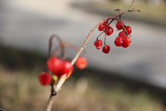 Red viburnum. On a branch stock image