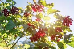 Red viburnum branch berries stock image