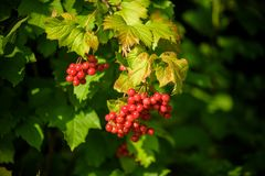 Red viburnum branch in the garden. Viburnum viburnum opulus berries and leaves outdoor in autumn fall. Bunch of red viburnum berri. Es on a branch royalty free stock image