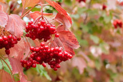 Red viburnum on bush Stock Photography