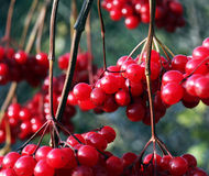Red viburnum Stock Photo