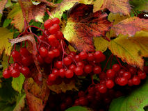 Red viburnum Royalty Free Stock Photo