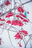 Red viburnum in the cold. Frozen berry useful for the body Royalty Free Stock Photos