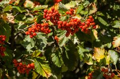 Red viburnum and green leaves stock photo