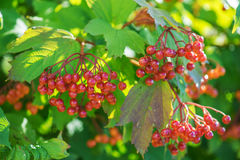 Red viburnum Royalty Free Stock Image