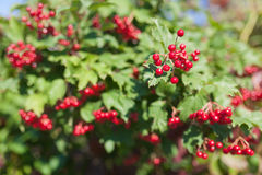 Red viburnum Stock Photography