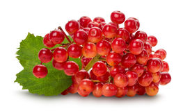 Red viburnum isolated on the white background Royalty Free Stock Photo