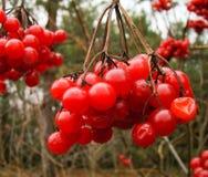 Red viburnum. Last remnants of autumn Stock Image
