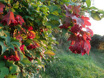 Red viburnum lit evening light Royalty Free Stock Photography