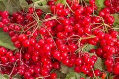 Red viburnum ordinary Stock Image