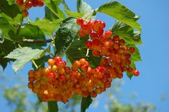 Red viburnum. In sky stock photography