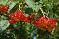 Red viburnum. In sky stock images