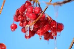 Red viburnum Stock Images
