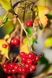 Red Viburnum Viburnum Royalty Free Stock Image