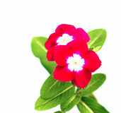 Red Vinca  flowers Stock Photo