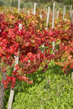 Red vine autumn leaves Royalty Free Stock Photography