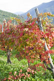 Red vine autumn leaves Stock Photo