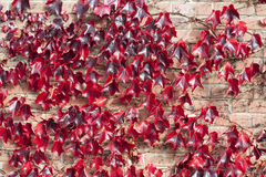 Red Vine Creaper Leaves Royalty Free Stock Photo