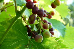 Red vine grape Royalty Free Stock Photos