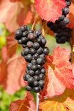 Red vine grapes of Cabernet dorsa Royalty Free Stock Images