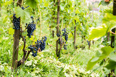 Red vine grapes in Switzerland in summer Stock Image