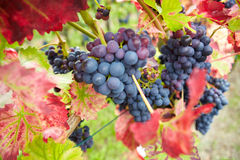 Red vine grapes in vineyard Stock Image