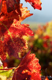 Red vine leaf. Detail showing veins in red vine leaf Royalty Free Stock Photography