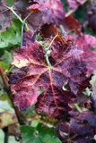 Red vine leaf in the vineyard in autumn Stock Photos