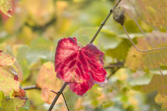 Red Vine Leave. Vine Leaves to Autumn Time in the sunlight Stock Photography