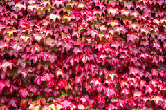 Red vine leaves Royalty Free Stock Image