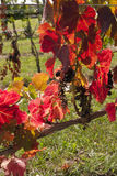 Red vine leaves. Grapes gone. Royalty Free Stock Images