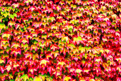Red Vine Leaves Stock Images