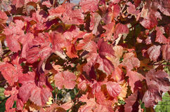 The red vine leaves Royalty Free Stock Image