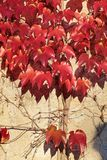 Red vine leaves on a wall Stock Image