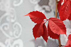 Red vine leaves on the wall Royalty Free Stock Photos